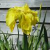 Ирис болотный 'Flore Pleno' (Iris pseudacorus 'Flore Pleno')