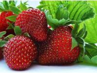 Садовая земляника фриго - все преимущества для фермера