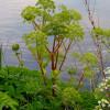 Дягель лекарственный (Angelica archangelica)