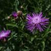 Василек луговой  (Centaurea jacea)