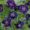 Герань темная 'Raven' (Geranium phaeum 'Raven')