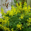 """Хохлатка """"Canary Feathers"""" (Corydalis """"Canary Feathers"""")"""