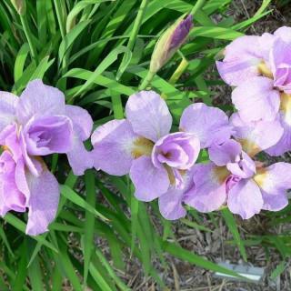 Ирис сибирский 'Kita no seiza' (Iris sib. 'Kita-No-Seiza')