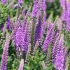 Вероника 'Purpleicious' (Veronica 'Purpleicious')