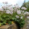 Герань кембриджская 'Biokovo' (Geranium cant. 'Biokovo')
