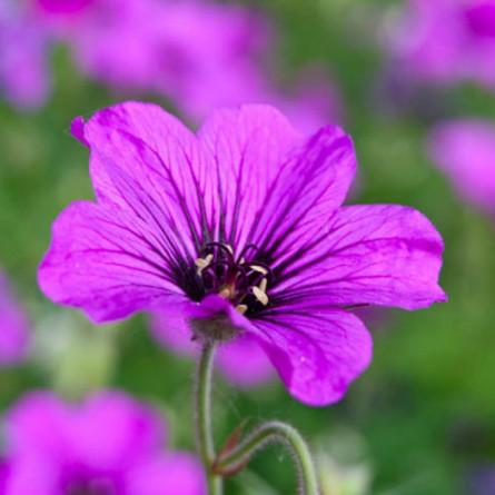 Герань 'Patricia' (Geranium 'Patricia')