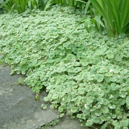 Будра плющевидная 'Variegata' (Glechoma hederacea 'Variegata')