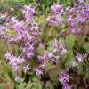 """Горянка Юнга """"Roseum"""" (Epimedium youngianum """"Roseum"""")"""