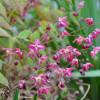 Горянка червона (Epimedium rubrum)