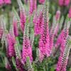 Вероника 'Pink Marshmallow' (Veronica 'Pink Marshmallow')
