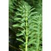 Уруть хвостниковидная (Myriophyllum hippuroides)