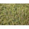Уруть колосистая (Myriophyllum spicatum)