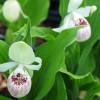 Циприпедиум/Башмачек королевы (Cypripedium reginae)