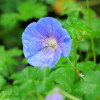 """Герань великолепная """"Rosemoor"""" (Geranium magnificum """"Rosemore"""")"""