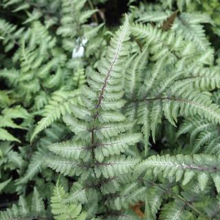 Кочедыжник ниппонский 'Metalicum' (Athyrium niponicum 'Metalicum')
