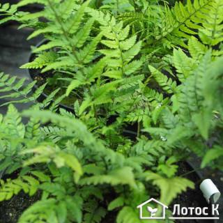 Многорядник цусимский (Polystichum tsus-simense)
