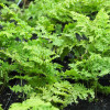 Щитовник австралийский 'Crispa Whiteside' (Dryopteris au. 'Crispa Whiteside')