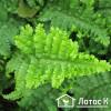 Щитовник мужской 'Криспа' (Dryopteris f.-m. 'Crispa')