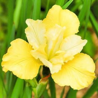 Ирис сибирский  'Summer Revels' (Iris sib. 'Summer Revels')