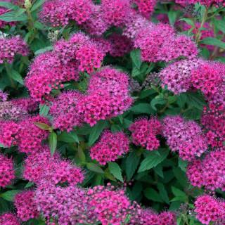 Спирея японская 'Anthony Waterer' (Spiraea japonica 'Anthony Waterer')