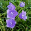 "Колокольчик персиколистный ""Coerulea"" (Campanula pers. ""Coerulea"")"